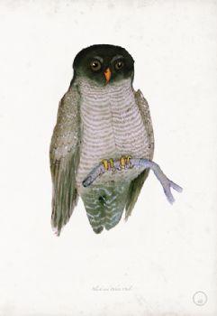 Black and White Owl - artist signed print